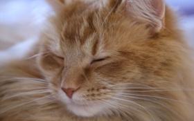 Обои кошка, кот, пушистый, рыжий, мордочка, спит