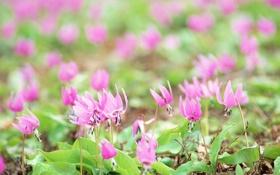 Обои лес, трава, макро, цветы, растения, весна, подснежники
