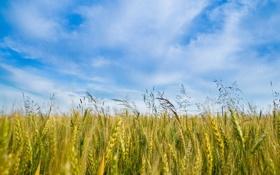 Обои поле, небо, трава, облака, природа, голубое, колосья