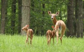 Картинка лес, олени, материнство, детёныши, оленята
