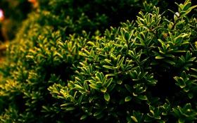 Обои зелень, листья, куст, Природа, листочки, nature, кустарник