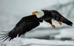 Обои крылья, полёт, орёл