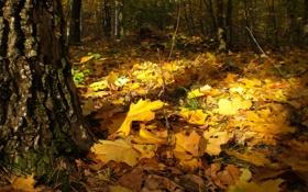 Картинка тишина, красиво, на траве, В лесу, кленовые, осенние, солнечный денёк