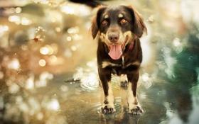 Обои взгляд, вода, собака