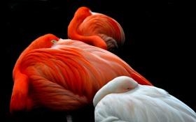 Картинка птицы, фон, перья, фламинго