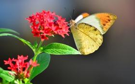 Обои цветок, красный, фон, бабочка, размытость