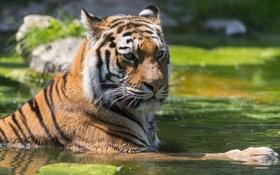 Картинка вода, тигр, пруд, отдых, купание, tiger