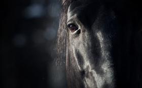 Обои морда, глаз, фон, животное, Лошадь, грива