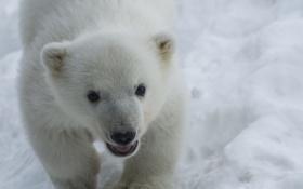 Обои малыш, мордочка, медвежонок, белый медведь, детеныш