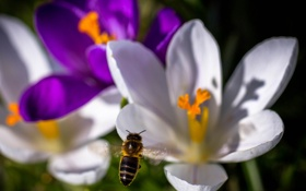Обои насекомое, пчела, крокус, цветы