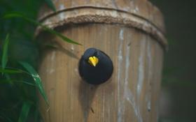 Картинка желтый, птица, клюв, черная, птичка, смотрит, выглядывает