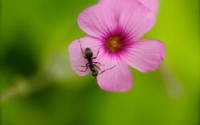 Обои муравей, цветок, насекомое, розовый