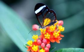 Обои цветок, прозрачность, бабочка