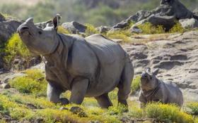 Обои фон, носороги, прирорда