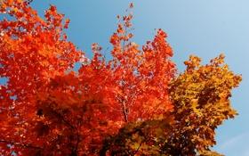 Картинка осень, небо, листья, деревья, крона, багрянец