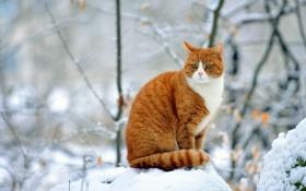 Обои зима, кошка, рыжая