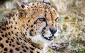 Картинка гепард, зверь, боке