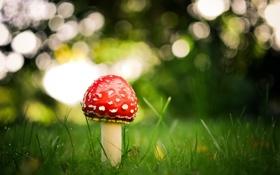 Обои природа, одиночество, гриб, мухомор, nature, loneliness, mushroom