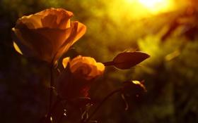 Картинка макро, цветы, природа, розы, бутоны