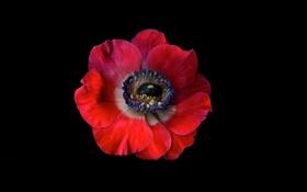 Обои цветок, фон, цвет, мак, лепестки, полумрак