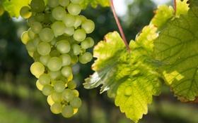 Обои природа, виноград, виноградник, кусты, nature, bushes, vines
