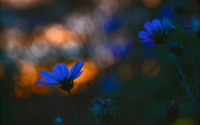 Картинка цветы, растение, вечер, луг, блик