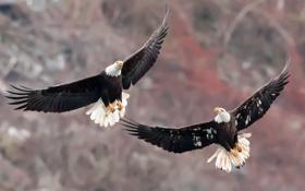 Картинка птицы, природа, Bald Eagles