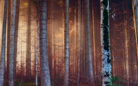 Обои лес, свет, деревья, ветки, природа, стволы