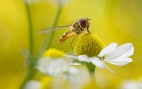 Обои цветок, трава, природа, муха, лепестки, ромашка, насекомое