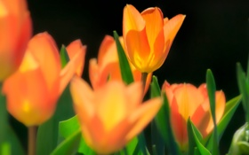 Картинка макро, цветы, весна, желтые, тюльпаны