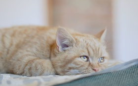 Обои кот, взгляд, рыжий, уши, ушки