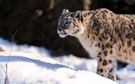 Картинка морда, снег, хищник, ирбис, снежный барс, snow leopard, стоит
