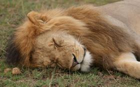 Картинка кошка, морда, отдых, сон, лев, спит