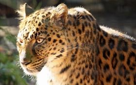 Обои фотошоп, хищник, леопард, профиль
