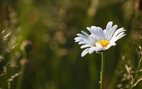 Картинка цветок, природа, ромашка