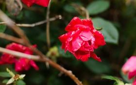 Обои роза, цветок, куст