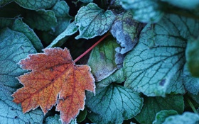 Картинка иней, осень, листья, природа