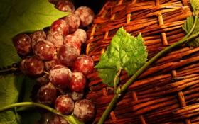 Картинка листья, красный, ягоды, корзина, виноград, лоза