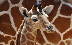 Обои мальчик, маленький, жираф, boy, baby, giraffe, little