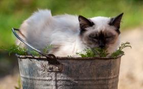 Картинка кошка, лето, ведро