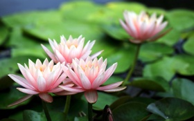 Обои close-up, pond, blur, waterlily, leaves