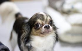 Обои фон, взгляд, собака