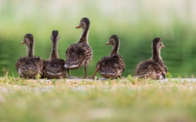 Картинка утки, семья, водоем
