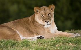 Обои кошка, трава, взгляд, отдых, львица