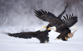 Обои животные, снег, птицы, рыба, орлы