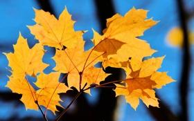 Картинка листья, осень, макро, клен