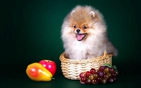 Обои корзина, собака, щенок, фрукты, шпиц