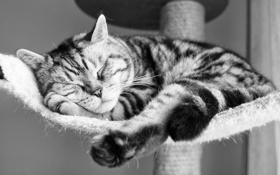 Картинка кот, шерсть, ч/б, фото, спит, мордашка