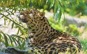 Картинка трава, отдых, листва, тень, хищник, леопард