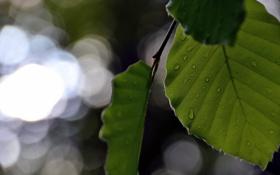 Обои макро, природа, лист